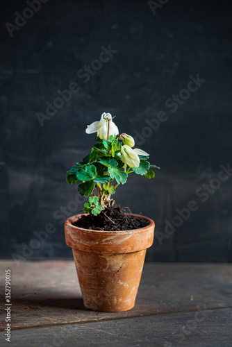 Photo white aquilegia in the pot