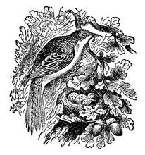 Brown Creeper Or M?ori Name, Vintage Illustration.