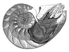 Pearly Nautilus, Vintage Illus...