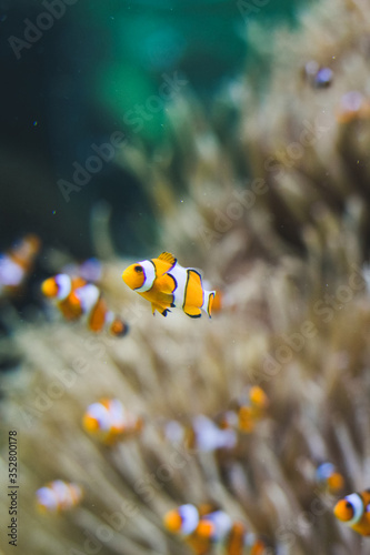 Canvas-taulu Shoal of clown-fishes swimming inside an aquarium