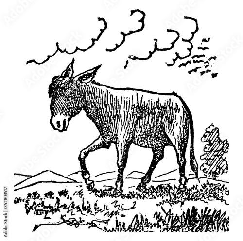 Donkey/Equus africanus asinus, vintage illustration Canvas Print