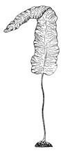 Oarweed Or Kelp, Vintage Illustration.