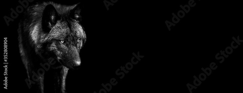 Template of black wolf in B&W with black background Fototapeta