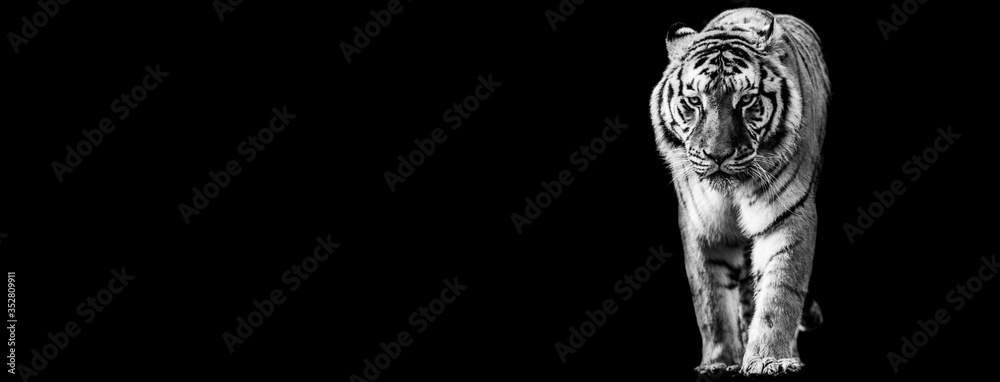 Template of Tiger in B&W with black background