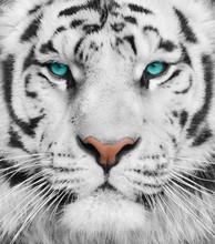 Albino Tiger With Beautiful Tu...