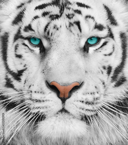 Albino tiger with beautiful turquoise eyes Fototapet