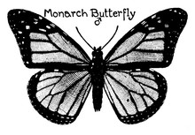 Monarch Butterfly, Vintage Ill...