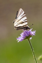 Scarce Swallowtail On Violet F...