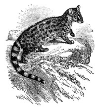 Genet, Vintage Illustration.