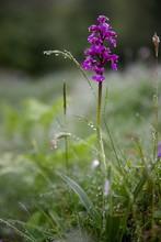 Orchidée Des Pyrénées