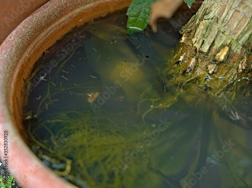 Valokuva Mosquito larvae inside a potted plant fill with stagnant water