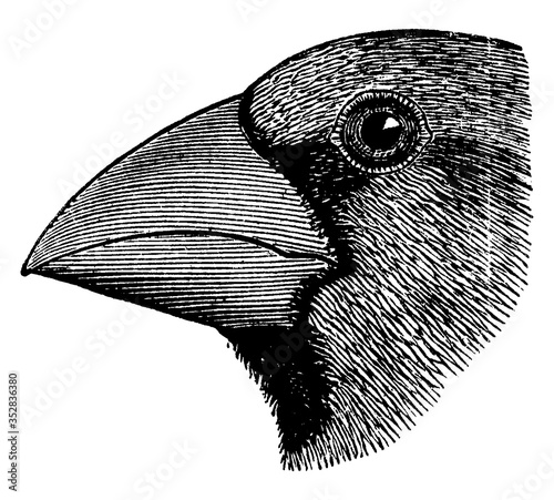 Hawfinch Head, vintage illustration. Fototapet