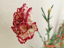Two Tone Carnation Flower