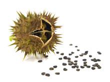Pod And Seeds Of Jimson Weed I...