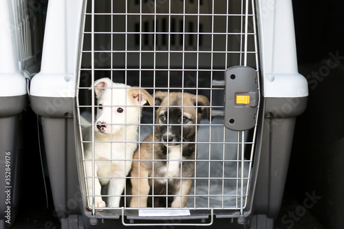Obraz na plátně puppies in a container for transporting animals.