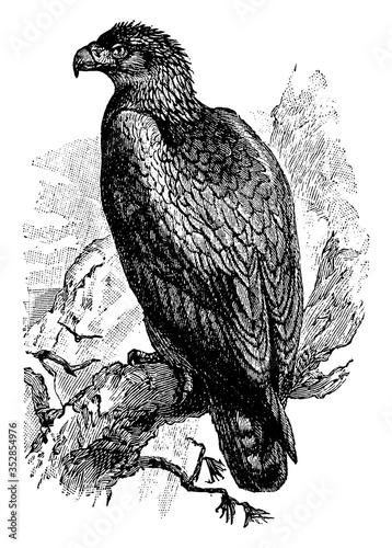 Photo Golden Eagle, vintage illustration.