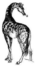 Giraffe, Vintage Illustration.