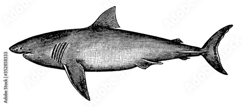 Fototapeta Great White Shark, vintage illustration. obraz