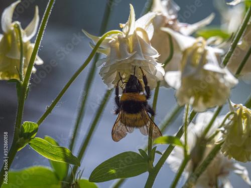 Bees near White Aquilegia Wallpaper Mural