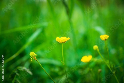 Meadow buttercup (Ranuculus acris) in the field Canvas Print