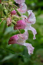 Close Up Of Two Flowers Of A Impatiens Glandulifera