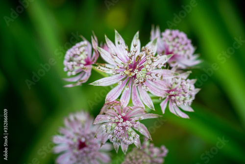 Blooming Astrantia in the garden Canvas Print