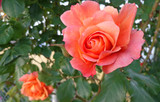 Dwie róże Rosmary