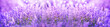 Panoramic purple lavender flowers blooming. Beautiful purple banner. Aromatherapy, beauty, cosmetics concept.