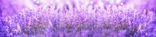Panoramic Purple Lavender Flow...