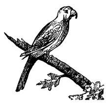 Macaw, Vintage Illustration.
