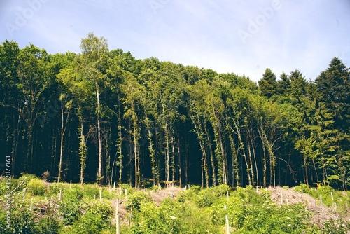 Obraz na plátně Lisière de forêt hauts arbres tordus par le vent vosges