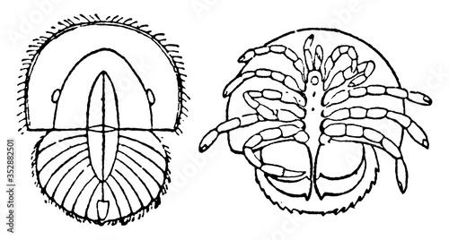 Photo Limulus Polyphemus, vintage illustration.