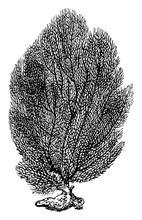 Fan Coral, Vintage Illustration.