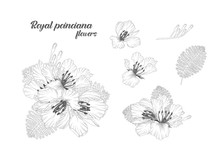 Set Of Hand Drawn And Line Art Of Royal Poinciana Flowers Elements