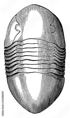 Photo Asaphus Gigas a Trilobite, vintage illustration.
