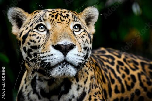 Canvastavla Jaguar Portrait