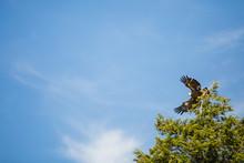 Bald Eagle Taking Flight To Fish Along Lake Michigan Shoreline