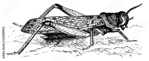 Locust, vintage illustration. Canvas Print