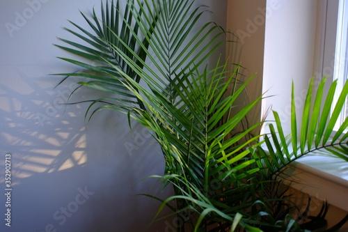 Fototapeta Majesty Palm Tree in Planter