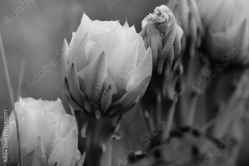 Prickly pear cactus blooms in macro closeup black and white.
