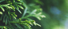 A Thuja Close Up. The Thuja Branch Background. Banner