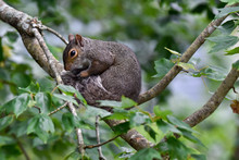 Eastern Gray Squirrel On Branch