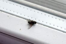 Housefly  Dead On Windowsill Of Kitchen Window