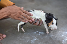 Man Giving A Bath For Our Guinea Pig With Water And Shampoo At Home, Love Animals