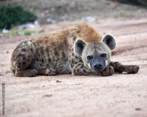 Hyena in the Wild Wallpaper Mural