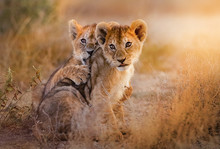 Lion Cubs Playing In The Savan...