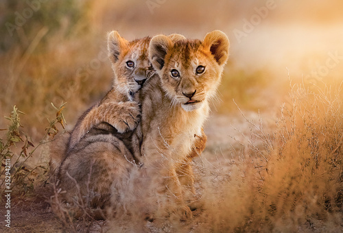lion cubs playing in the savannah Canvas Print