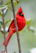 Close Up View Of Vibrant Male Northern Cardinal Perched On A Vertical Branch With Its Chest Puffed Out