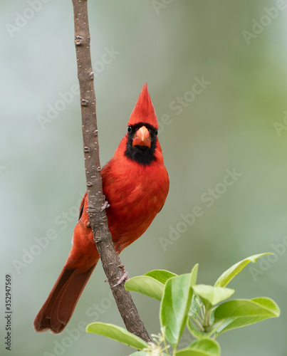 Vászonkép Male Northern Cardinal Perched on Vertical Branch of a Chinese Fringe Tree in Sp