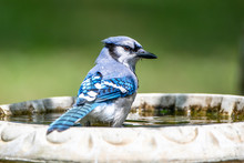 Bluejay Looking Back Over Its ...